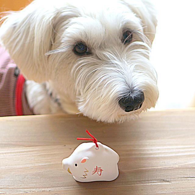 写真: 白い犬のアンナと白いイノシシの置物